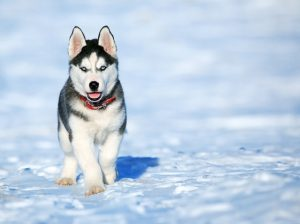 Husky in snow.