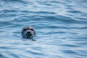A gray seal in the water.